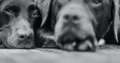 Ana Krolo: Dva labradora
