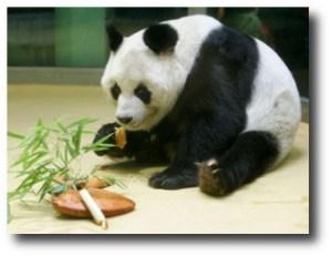 2. Panda Gigante