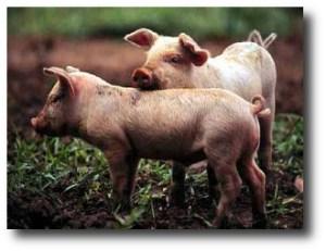 6. Cerdos