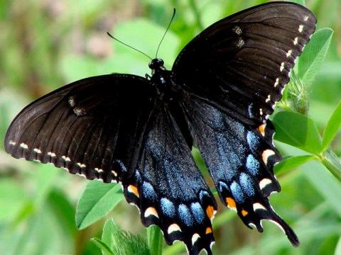 Mariposa negra