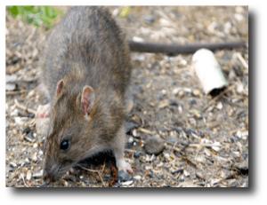 4. No hay ratas en Alberta