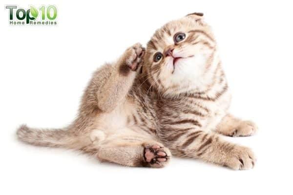 flea infestation in cats