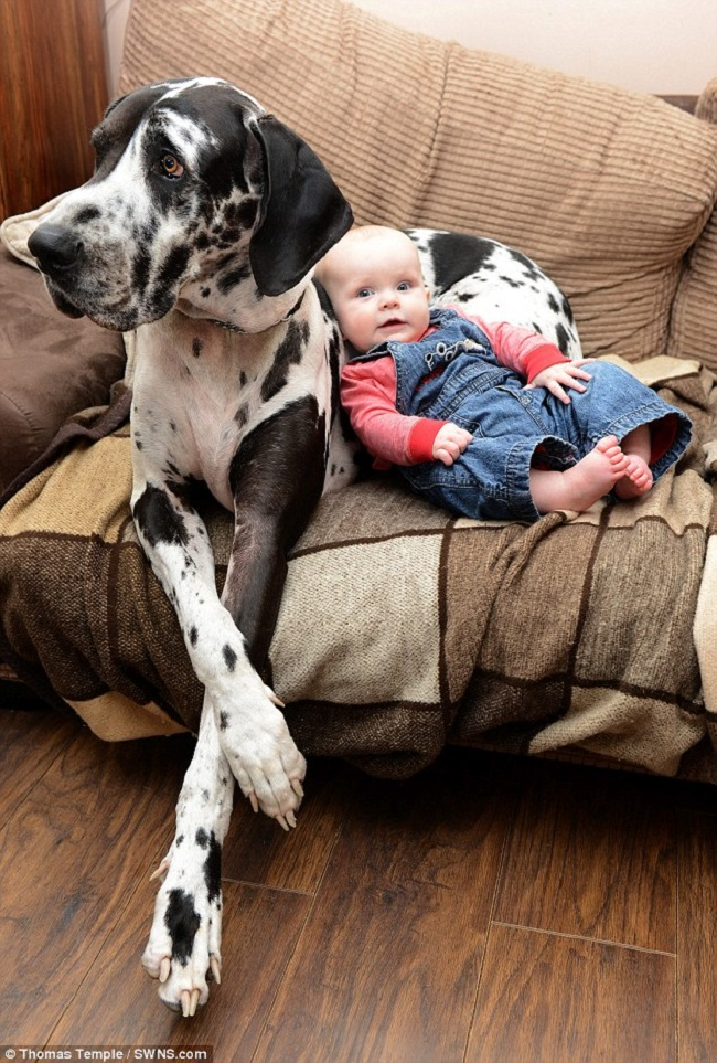 sofa donation sets cheap baby girl and 110-pound great dane are best friends ever