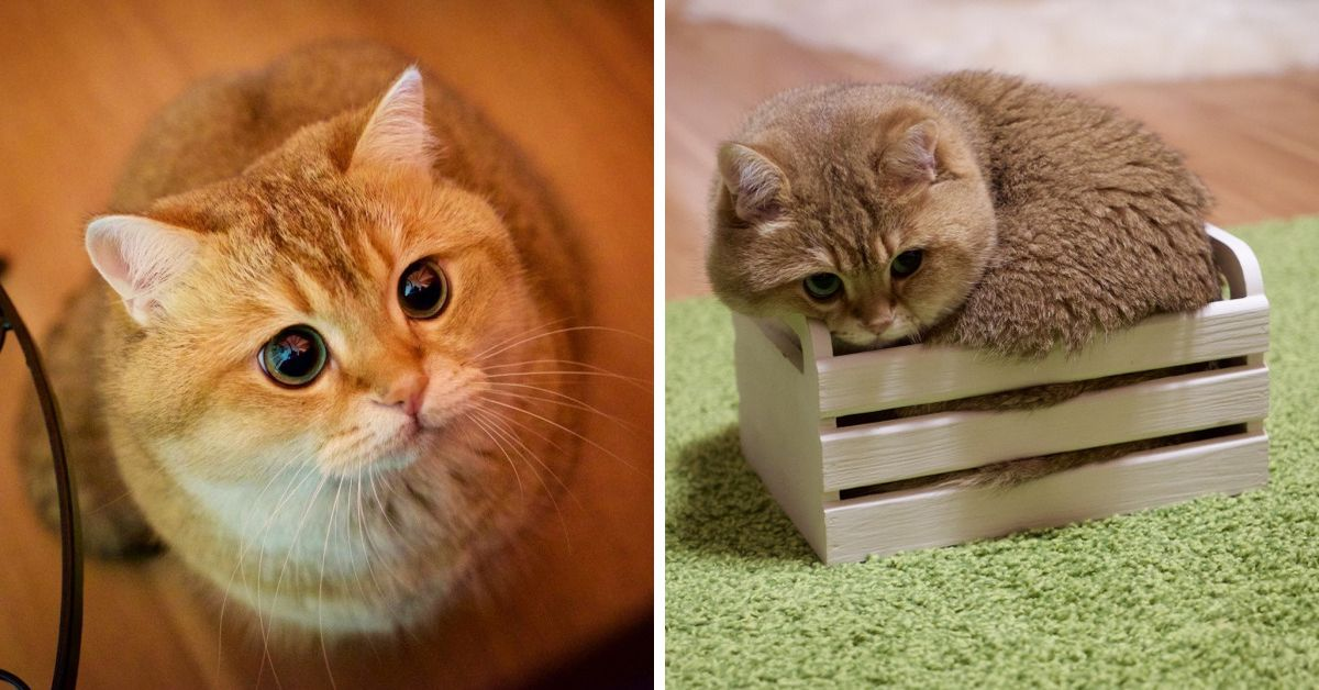 Cute Little Cat For Wallpaper Puss In Boots Exists And His Name Is Hosico Top13
