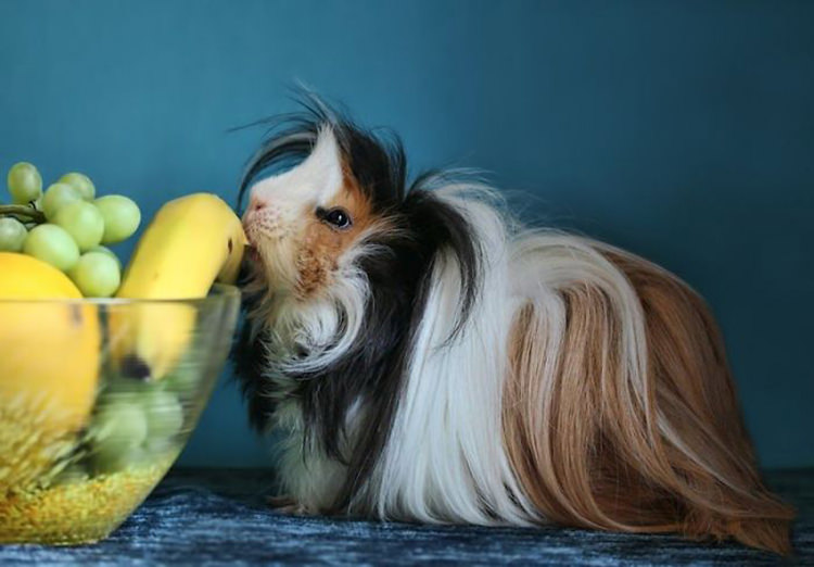 13 Guinea Pigs With The Most Amazing Hair Ever Top13