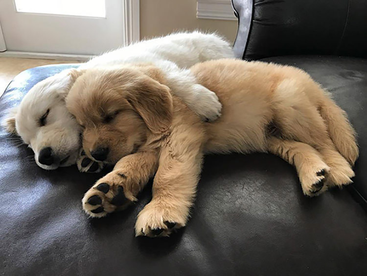 Image result for images golden retrievers