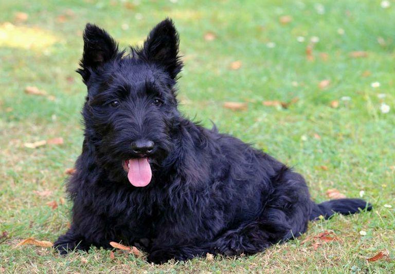 Scottish Terrier Austin Texas   Top Dog Information