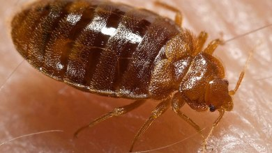 Photo of Sign Of Bedbugs Infestations And 3 Ways To Get Rid Of It