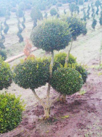 Buxus x 39Green Mountain39 Pom Pom Live Topiary