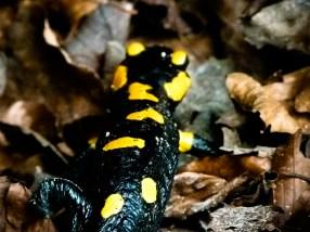 Salamandre boiteuse © Sandy