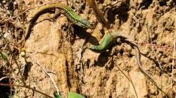 Fight of lizards
