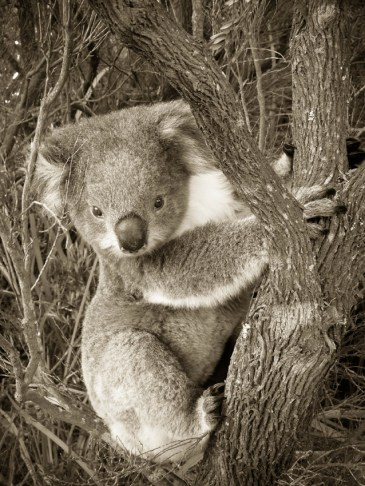 Koala IV © Yopich