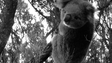 Koala V © Yopich