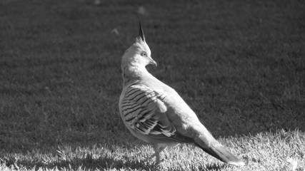 Pigeon punk © Yopich