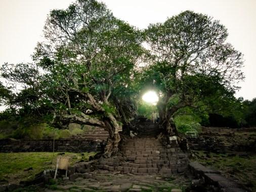 Les Frangipagniers de Vat Phou