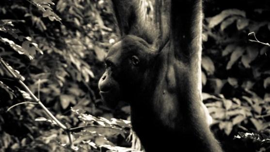 """= """"Homme de la forêt"""" en malais © Topich"""