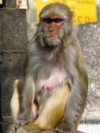 Grand sage macaque. © Topich