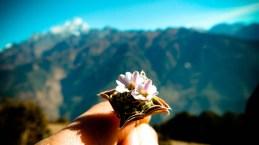 Edelweiss du LangTang © Topich