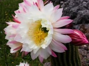 Cactus de sibérie © Topich