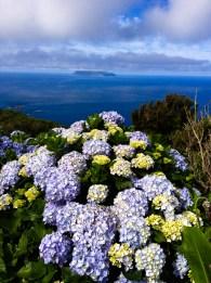 Les hortensias de Flores