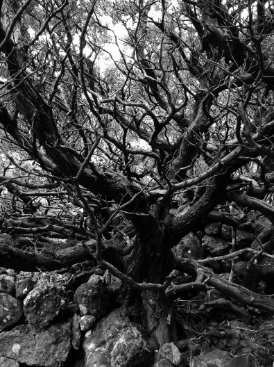 Dark Tree II