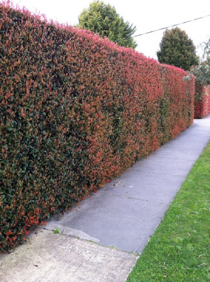 Best Tall Privacy Hedge Plants