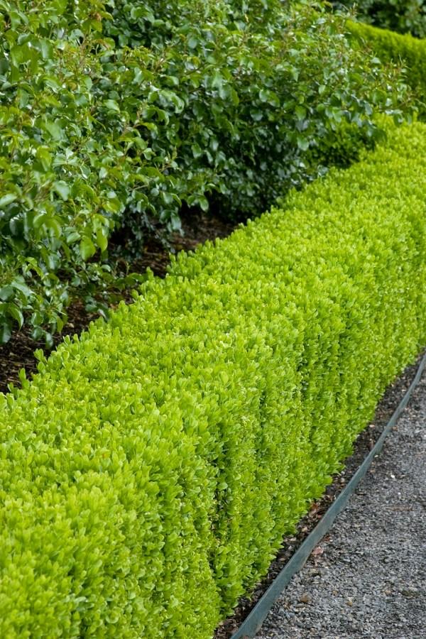 plants hedges