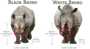 TOP 10 Differences Between the 5 Rhino Species  Top Inspired