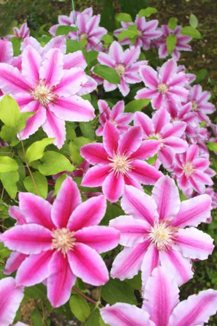 Top 10 Tips on Growing Gorgeous Clematis Vines  Page 2 of 10  Top Inspired