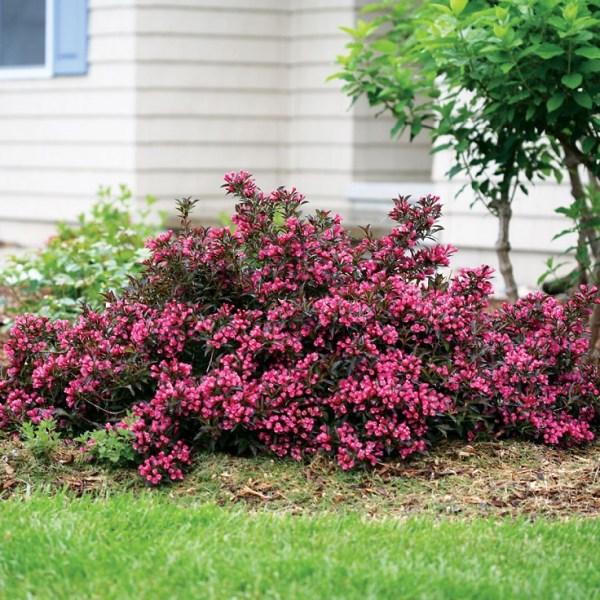 dwarf flowering bushes