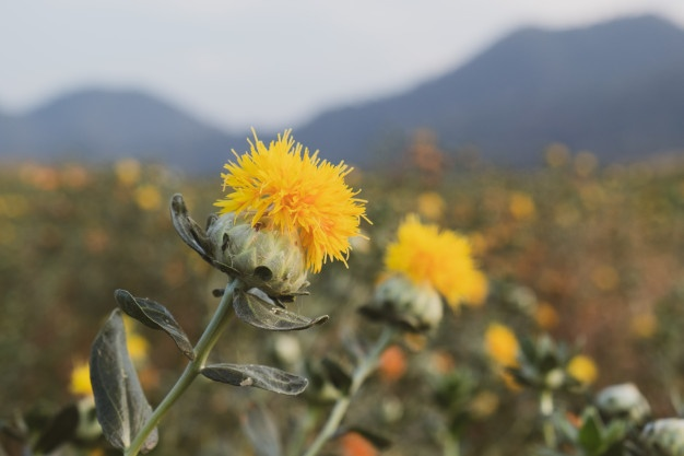 aspir yağı, yağ bitkisi