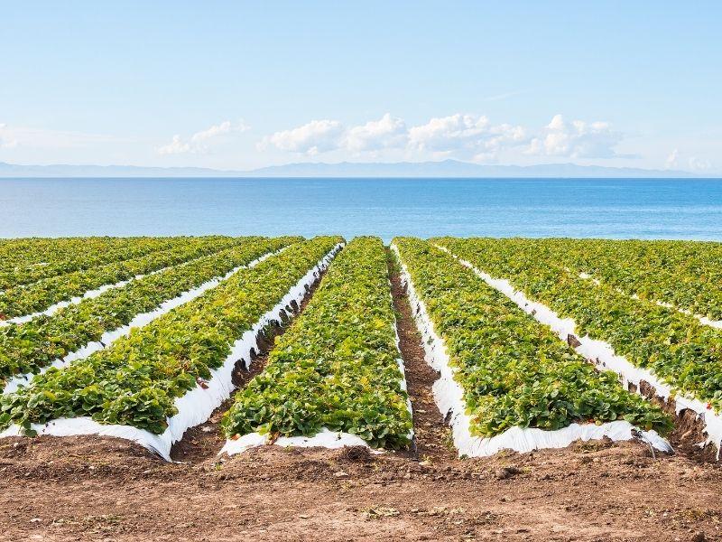 Çilek Yetiştiriciliği, Çilek tarımı