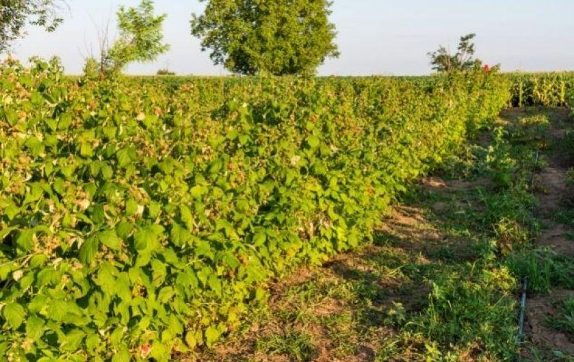 Ahududu tarımı