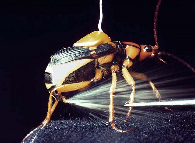 bompardier beetles