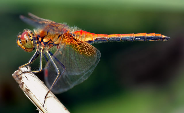dragonfly