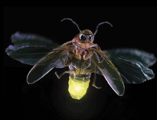 firefly-lights_up