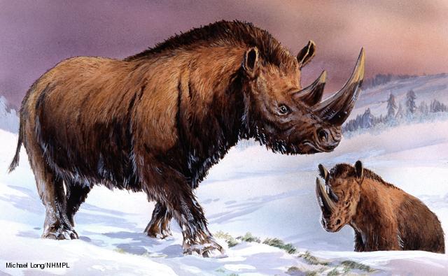 Coelodonta antiquitatis, woolly rhinoceros