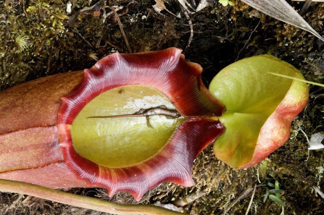 8 Picture Carnivorous Flower
