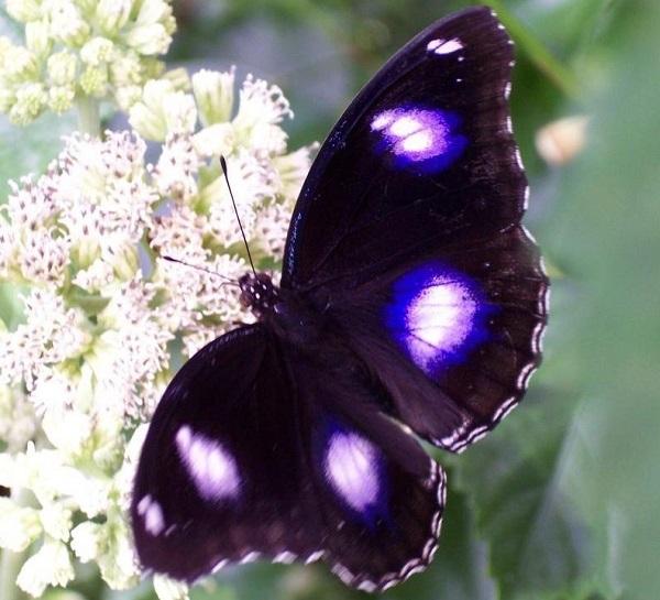 Blue Moon Butterfly (Hypolimnas bolina)