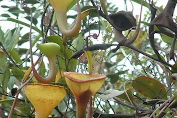 The Tropical Pitcher Plant (Nepenthes jamban)