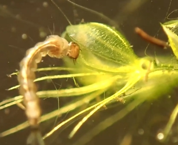 The Waterwheel Plant (Aldrovanda vesiculosa)