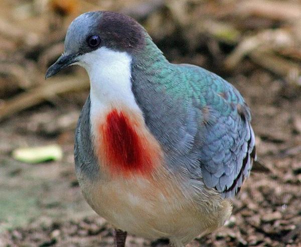 Mindanao Bleeding-heart Pigeon (Gallicolumba crinigera)