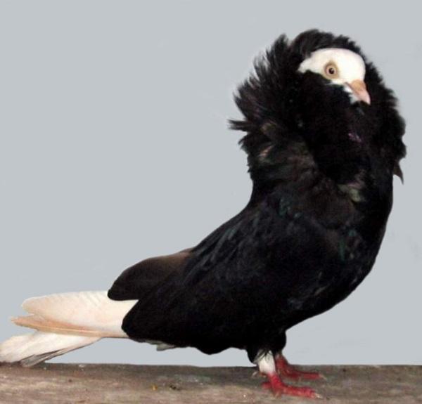 Old Dutch Capuchine Pigeon (Columba livia)