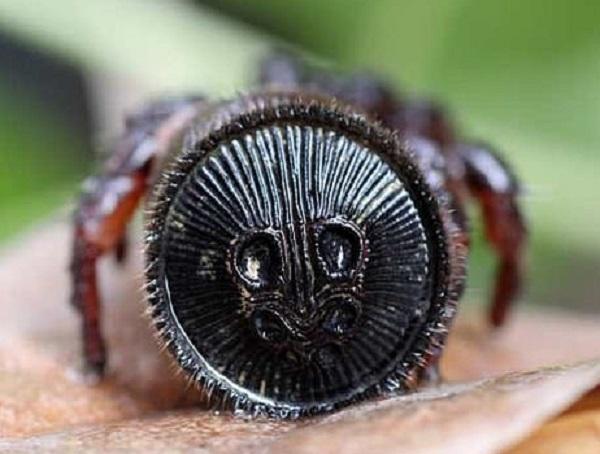 Chinese Hourglass Spider (Cyclocosmia truncata)