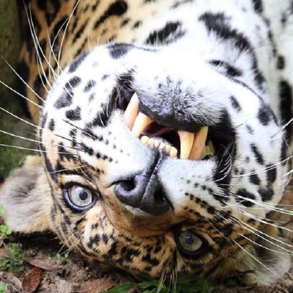 The Jaguar Selfie