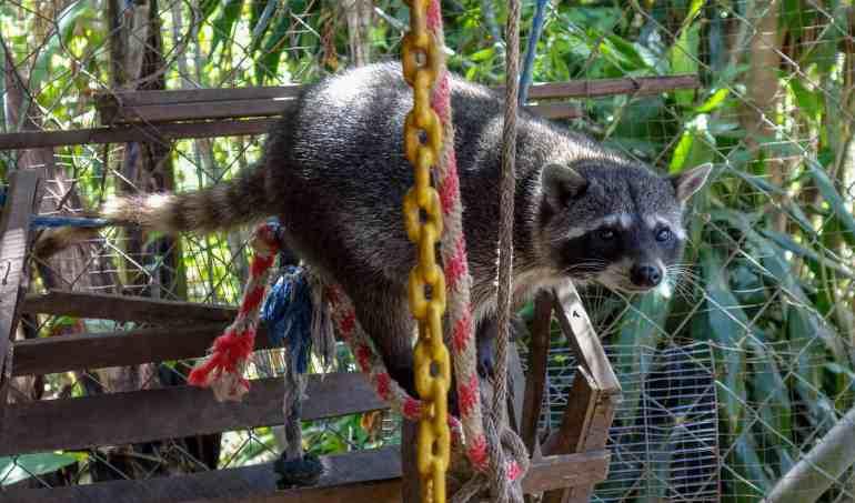 Jack the racoon at Jungla de Panama