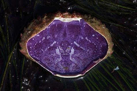 The Ecology of Roshar Horseshoe Crab Blood