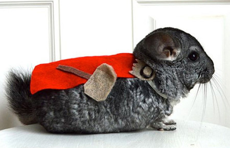 This is Eric Smith's chinchilla, dressed as Thor