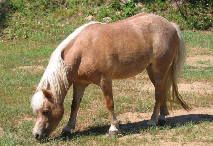 Blog Post Featured Image - SFF Horse Breeds: Tiny Horses
