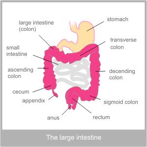 The anatomy of the large intestine